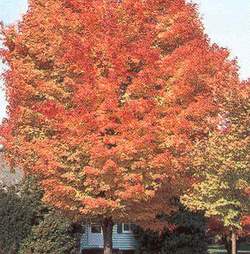 Caddo Sugar Maple with Fall Color